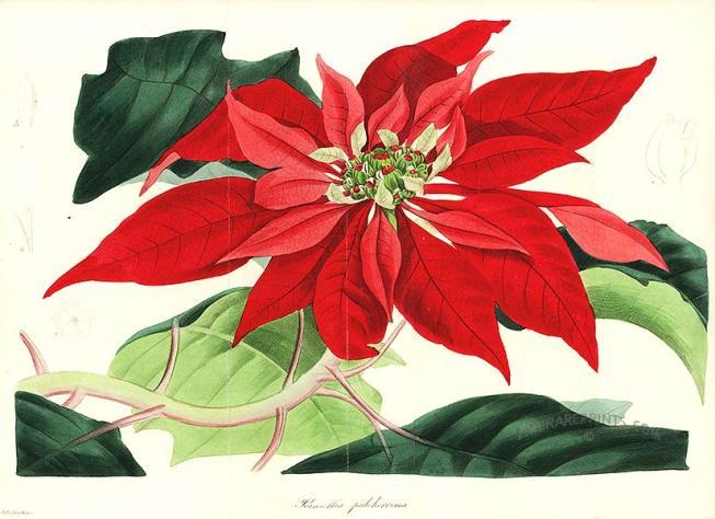 Stella Di Natale Cura E Manutenzione.La Stella Di Natale Consigli Per La Cura Ed Il Mantenimento